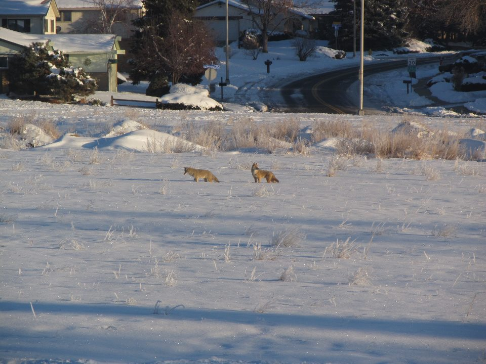 coyotes in arvada